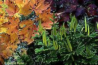 LY03-006z  Club Moss - strobuli, tree clubmoss, running pine, ground pine - Lycopodium obscurum