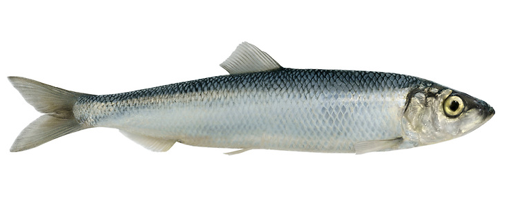 Herring Clupea harengus Length to 40cm<br /> Shoal-forming, economically important fish. Favours open seas but sometimes found inshore. Adult is streamlined, blue-grey above and silvery on sides. Dorsal fin starts in front of pelvic fin. Widespread but rather scarce, numbers much reduced in recent years due to overfishing.