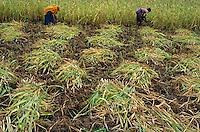 INDIA Madhya Pradesh, Dhar, Adivasi women harvest Sorghum / INDIEN Dhar, Adivasi Frauen ernten Sorghum