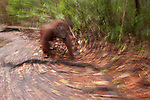 Bornean Orangutan (Pongo pygmaeus wurmbii) - mother in motion blur