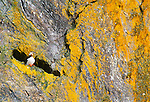 Horned puffin, Cape Pierce, Alaska