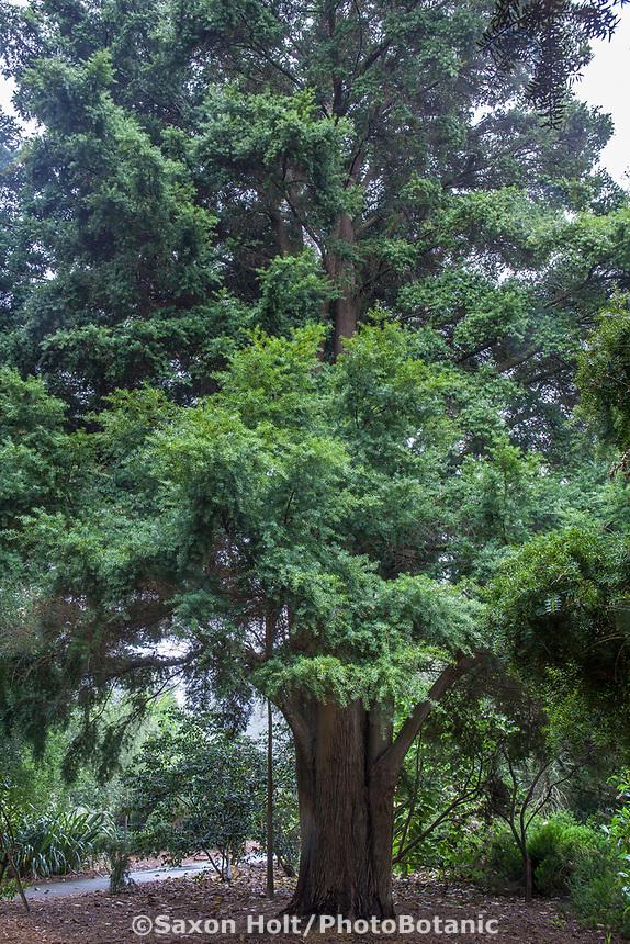 Podocarpus totara - Totara,  Evergreen conifer tree from New Zealand in San Francisco Botanical Garden