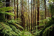 Image Ref: YR180<br /> Location: Wirrawilla Rainforest, Toolangi<br /> Date: 27.01.18