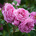 Rosa Gertrude Jekyll ('Ausbord'), early June. A modern shrub rose bred by David Austin from 'Wife of Bath' and 'Comte de Chambord', and first introduced in 1986. It has small clusters of pink flowers, pale crimson at the centre fading to palest pink at the edges.