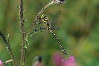 Zweigestreifte Quelljungfer, Cordulegaster boltonii, Cordulegaster annulatus, Cordulegaster boltoni, Golden-ringed dragonfly, golden ringed dragonfly