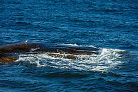 Sjöfågeln storskrake på klippa med vågor vid havet