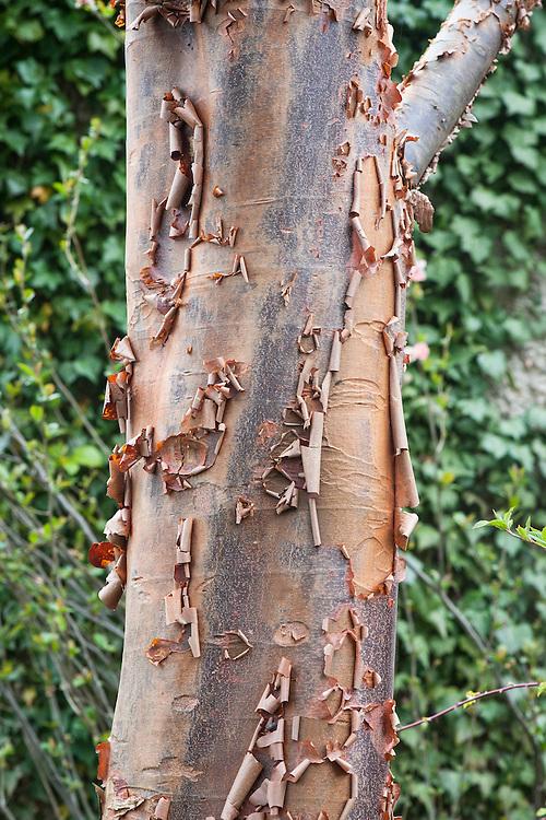 Peeling bark of paper-bark maple (Acer griseum).
