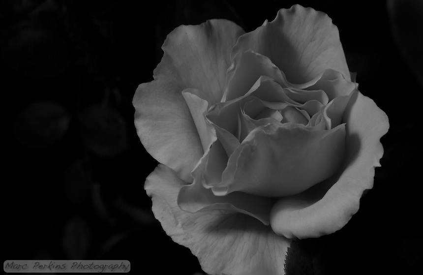 A softly lit rose that looks like it's being lit by moonlight at night.  Flash aimed at diffuser to left, FEV -1.66