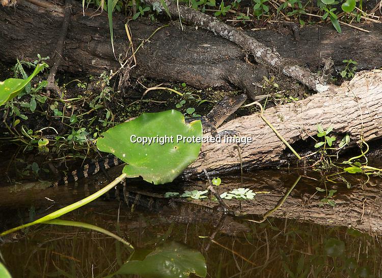 Photograph of an Alligators