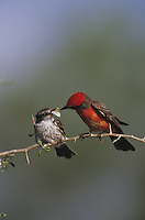 Vermillion Flycatcher (Pyrocephalus rubinus), male feeding moth prey to young, Starr County, Rio Grande Valley, Texas, USA