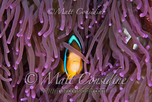 Clark's Anemonefish hiding amongst purple tentacles, Palau Micronesia. (Photo by Matt Considine - Images of Asia Collection) (Matt Considine)