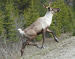 Caribou, Mountain, young bull
