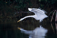 Great Egret, Ardea alba, adult preening, Sanibel Island, Florida, USA, Dezember 1998