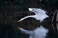 Great Egret, Ardea alba, adult preening, Sanibel Island, Florida, USA, Dezember 1998