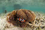 Shallow anemone with a true clownfish (Amphiprion percula)