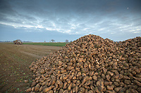 Lifting sugar beet in South Lincolnshire<br /> &copy;Tim Scrivener Photographer 07850 303986<br />      ....Covering Agriculture In The UK....