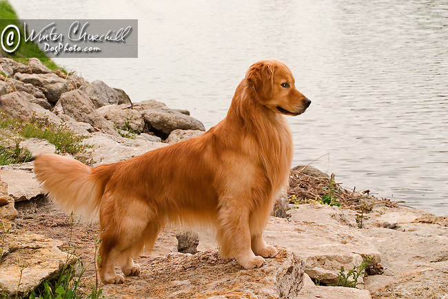 Golden Retriever Shopping cart has 3 Tabs:<br /> <br /> 1) Rights-Managed downloads for Commercial Use<br /> <br /> 2) Print sizes from wallet to 20x30<br /> <br /> 3) Merchandise items like T-shirts and refrigerator magnets