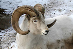 DALL SHEEP ovis dalli