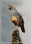 FB 404  California Quail  5x7 postcard by Frank Balthis