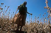 INDIA Rajasthan , legal controlled opium farming for Pharmaceutical industry for processing of Morphin drugs, dried poppy field after harvest / INDIEN Rajasthan , legaler kontrollierter Opium Anbau fuer die Pharmaindustrie zur Gewinnung von Morphin fuer Herstellung von Schmerzmittel, vertrocknetes Mohnfeld nach der Ernte