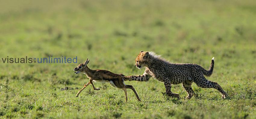 Cheetah cub chasing Thomson's Gazelle fawn, Masai Mara, Kenya