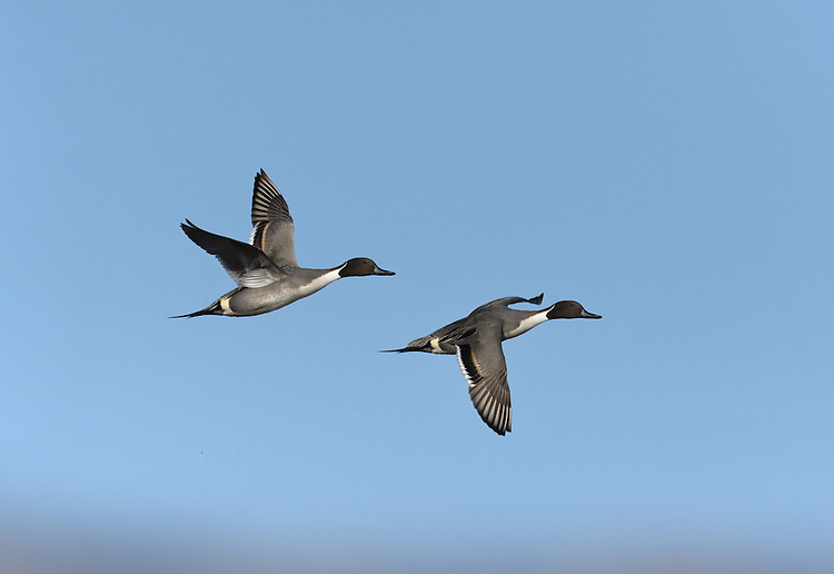 Pintail - Anas acuta - male
