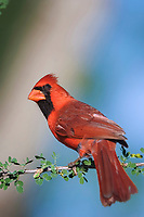 northern cardinal, Cardinalis cardinalis, male, Willacy County, Rio Grande Valley, Texas, USA, North America