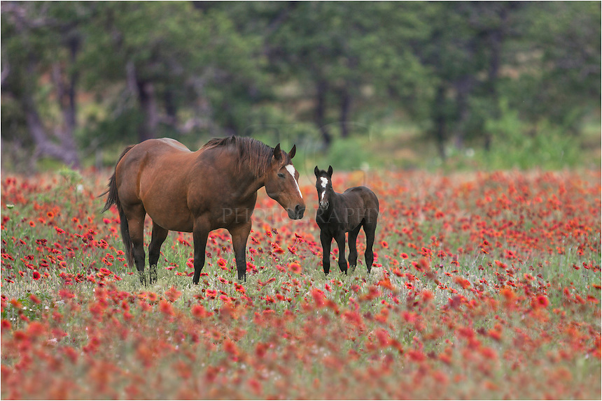 As I drove the backroads of the Texas Hill Country in search of wildflowers, I paused to capture this landscape with two horses in a field of Indian Blankets. They were a distance away, so used a telephoto lens to zoom in.