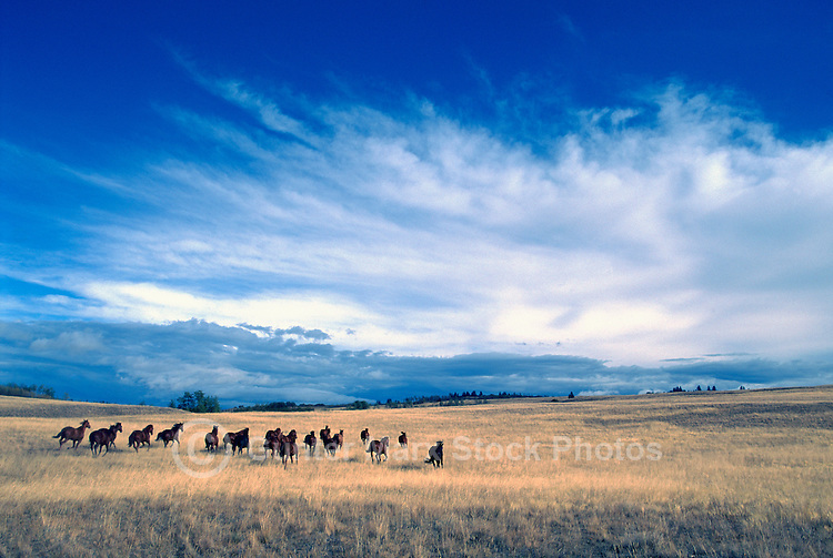 Herd of Free Roaming Wild Horses running free on Ranchland at Douglas Lake Ranch near Quilchena, Thompson Okanagan Region, BC, British Columbia, Canada