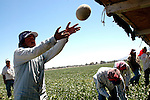 AJ Alexander - Farm workers picking cantalope. In Wenden, Arizona, west of Wickenburg..Photo by AJ Alexander