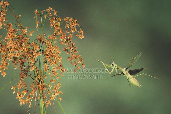 Praying Mantis (Mantis religiosa), adult in flight, Raleigh, Wake County, North Carolina, USA