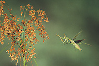 Praying Mantis (Mantis religiosa), adult in flight, Raleigh, Wake County, North Carolina, USA
