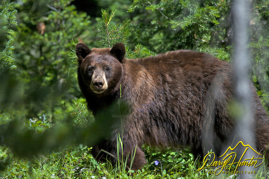 Black Bear, Grand Teton National Park