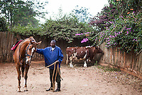 Luka Kidogo, a syce, prepared Tiger in the Wood for the jockey to take form the launching ring. Lucky, the bull in the background, was rescued during a drought 6 years ago by Lesley Sercombe. It was hand fed for three days  and slowly recovered. Lucky now  stays in the yard of trainer Patsy Serombe. Ngong Racecourse, Nairobi, Kenya. March 13, 2013. Photo: Brendan Bannon