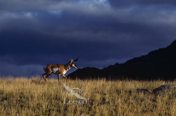 Pronghorn buck, sunset, storm, Western U.S., Fall.