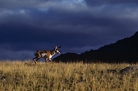 Pronghorn buck, sunset, storm, Western U.S., Fall.