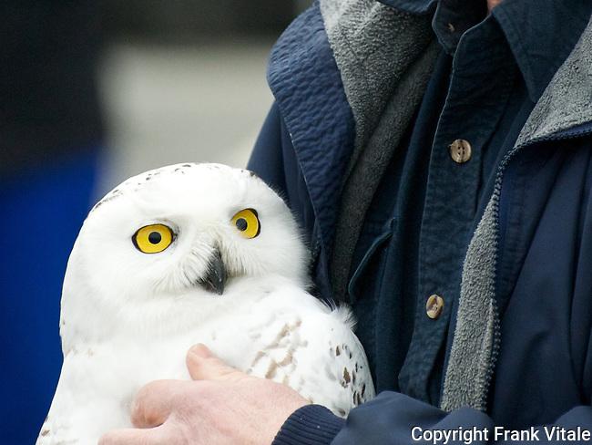 Snowy Owl, Parker River NWR, Plum Island, Newburyport, MA