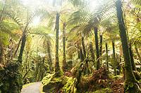 Walking track through native rainforest near Fox Glacier, Westland Tai Poutini National Park, UNESCO World Heritage Area, South Westland, New Zealand, NZ