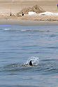A dolphin seems to struggle in shallow water near the shore in Grand Isle where workers continue to clean up the massive spill, Wed., June 9, 2010.