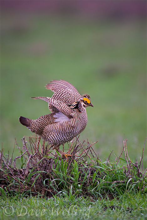 572110197 a wild lesser prairie chicken tympanuchus pallidicintus displays and struts on a lek on a remote ranch near canadian in the texas panhandle