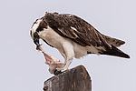 Guerroro Negro, Baja California Sur, Mexico; an osprey eating a fish on top of a telephone pole on an overcast day