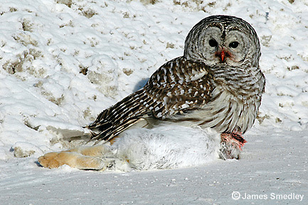 Great grey owl eating a snowshoe hare