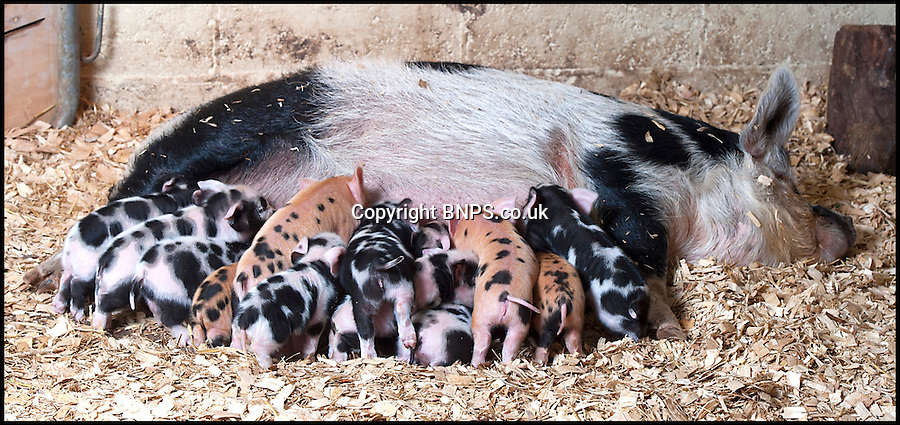 BNPS.co.uk (01202) 558833<br /> Picture: LauraJones/BNPS<br /> <br /> Daisy with her litter of 16 kunekune piglets.<br /> <br /> Daisy the hardy sow is taking a well earned rest after giving birth to an incredible 27 piglets the space of nine months.<br /> <br /> The Kunekune pig previously produced a litter of 11 babies at a children's activity farm when Charlie the randy boar escaped from his pen at night and snuck into her enclosure.<br /> <br /> Four months on from that amorous evening and Daisy has given birth to a whopping 16 more piglets at the Farmer Palmer's Farm Park near Wareham, Dorset.