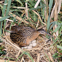 A King Rail (Rallus elegans) incubates her eggs in a nest hidden in reeds