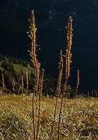 Beargrass Stalks on the Highline Trail