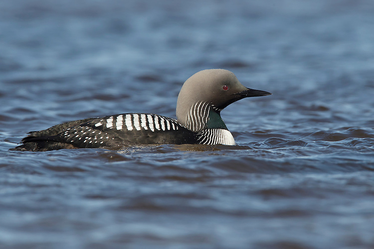 Pacific Loon - Gavia pacifica - summer adult