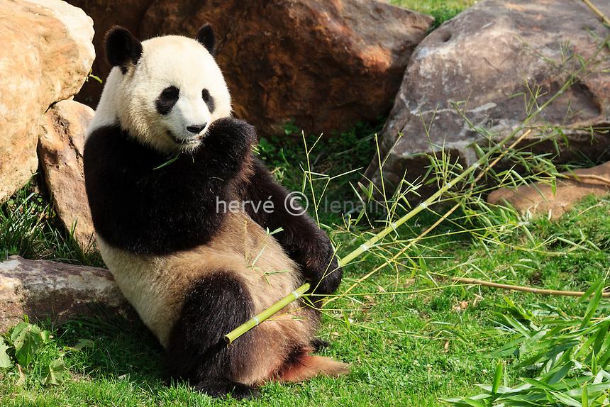 giant panda (Ailuropoda melanoleuca) in Beauval zoo // Panda géant (Ailuropoda melanoleuca) au Zoo de Beauval