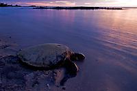 Green Sea turtle, Hawaii, Chelonia mydas, 'Honu' at sunset, Kona, Hawaii