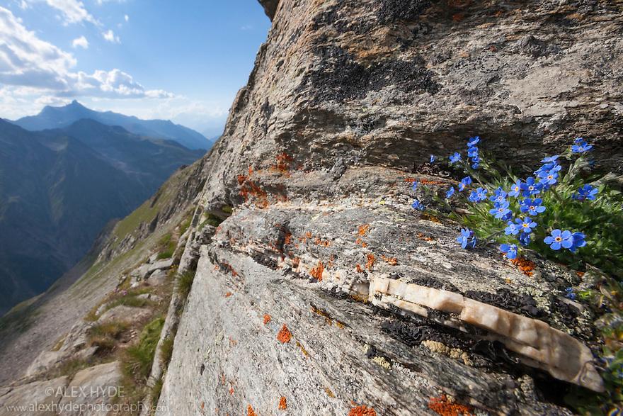 King of the Alps {Eritrichium nanum} growing on mountain ridge at 3000 metres altitude. Gran Paradiso National Park, Aosta Valley, Pennine Alps, Italy. July.
