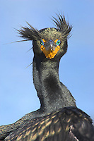 Double-crested Cormorant - Phalacrocorax auritus - breeding plumage